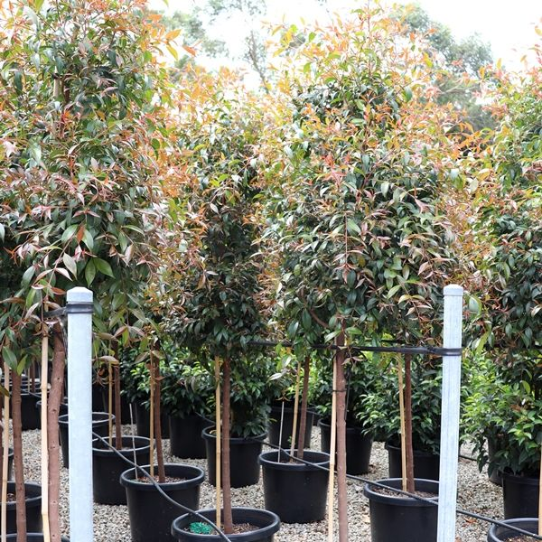 Syzygium australe Pleached