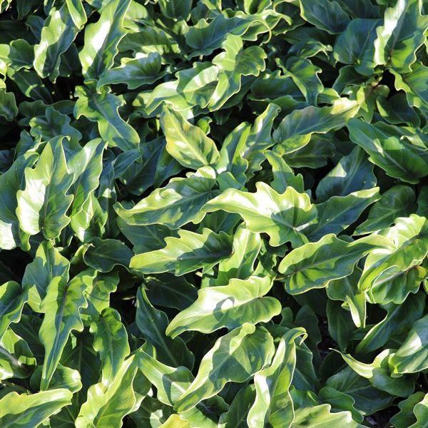 Philodendron japonica 'Xanadu'