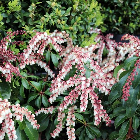Pieris japonica 'Dorothy Wyckoff'