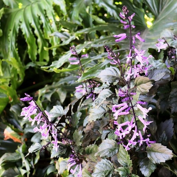 Plectranthus saccatus 'Velvet Elvis' pbr