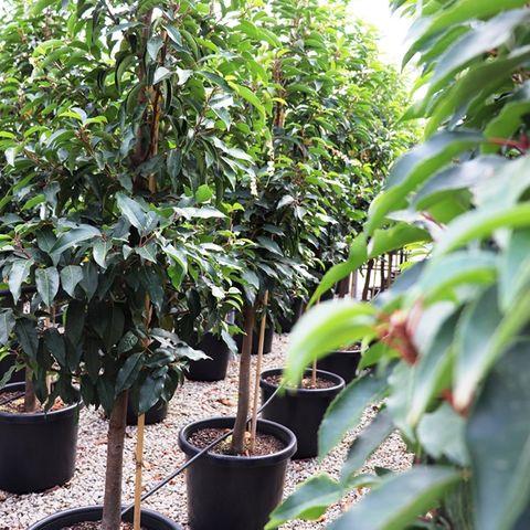 Prunus lusitanica Pleached