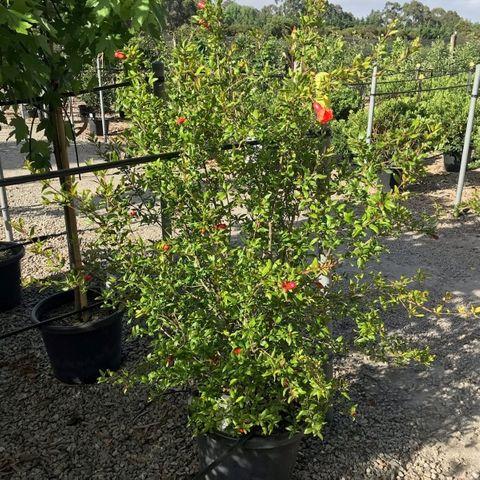 Punica granatum 'Wonderful' (Pomegranate)