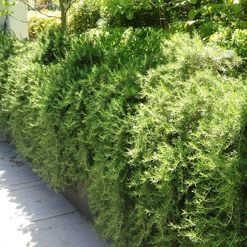 Rosmarinus officinalis 'Santa Barbara'