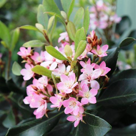 Rhaphiolepis Oriental Pink pbr