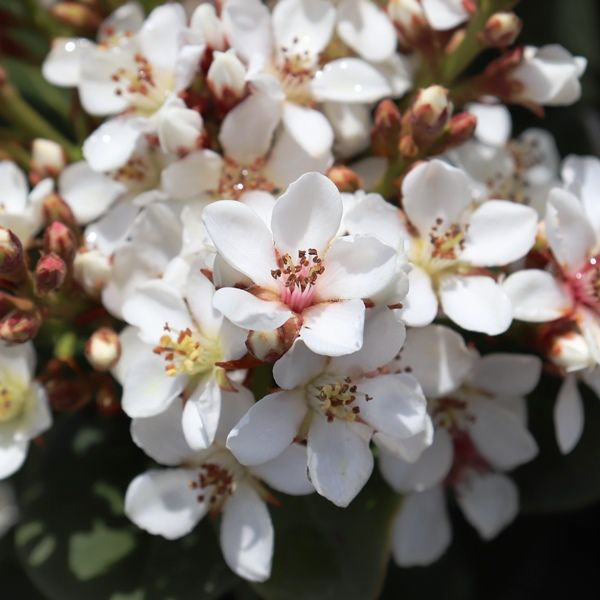 Rhaphiolepis umbellata