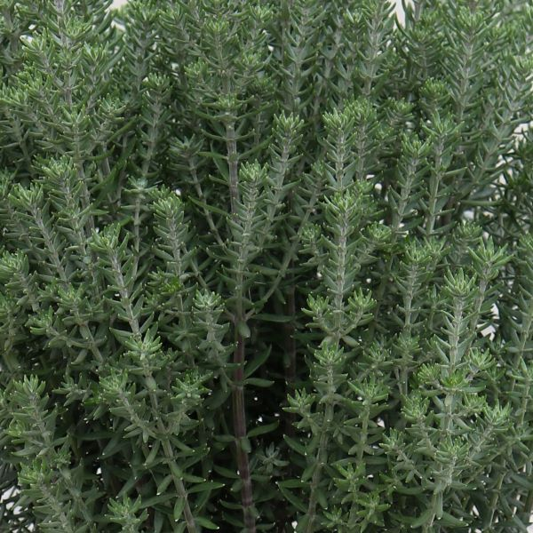 Westringia fruticosa 'Funky Chunky'