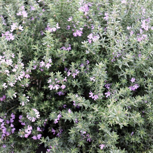 Westringia fruticosa 'Jervis Gem'
