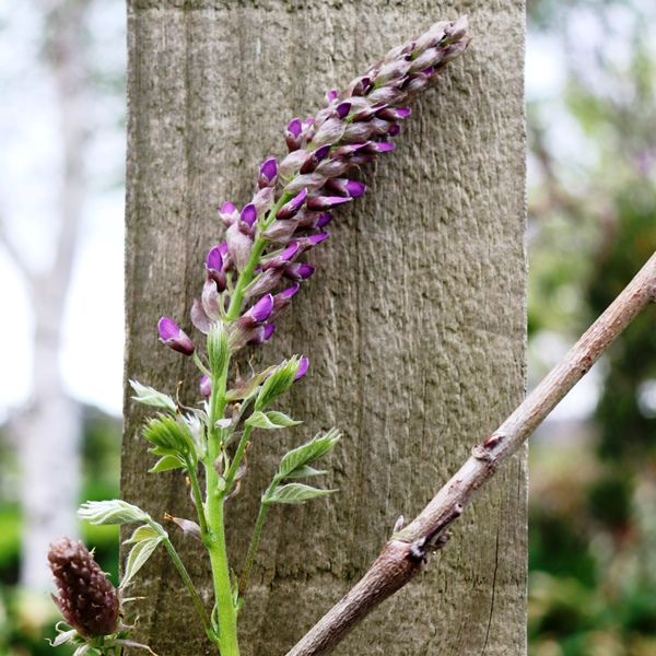 Wisteria sinensis