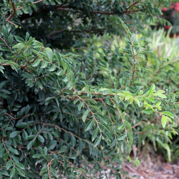 Ulmus parvifolia 'Inspire' pbr