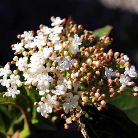 Viburnum japonicum