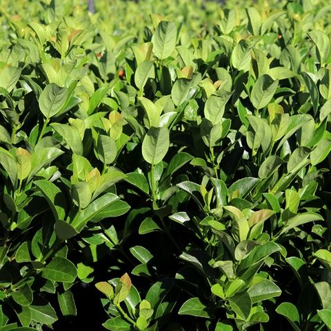 Viburnum odoratissimum 'VOC1' Dense Fence™ pbr