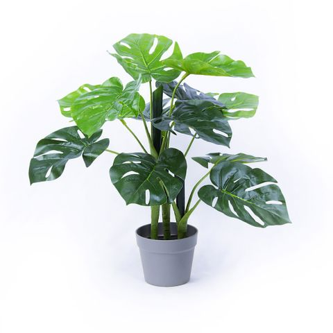 POTTED MONSTERA 60CM