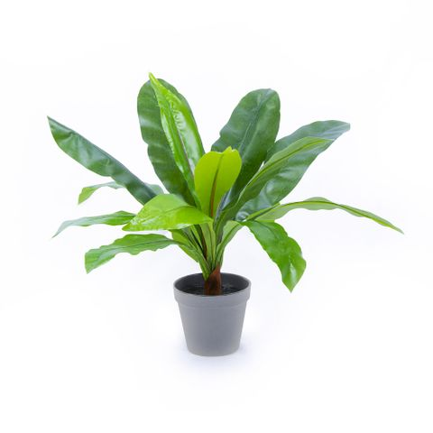 POTTED BIRDS NEST FERN 50CM