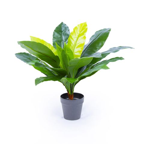 POTTED BIRDS NEST FERN 70CM