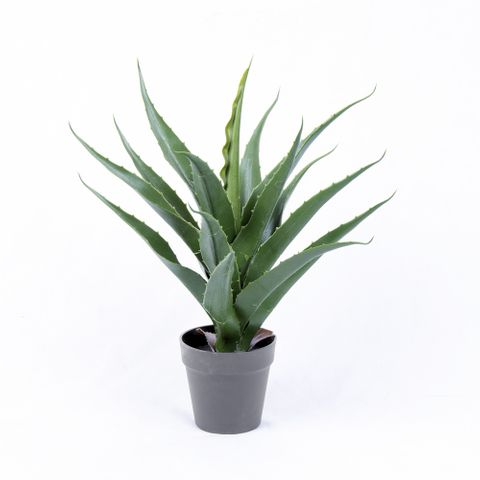 POTTED YUCCA 50CM