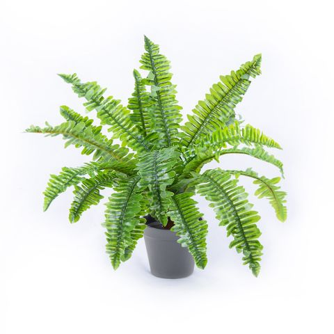 POTTED BOSTON FERN 45CM