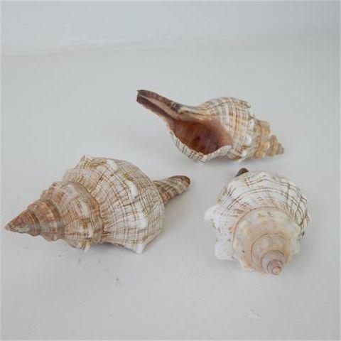 Shells Cone 3pcs Approx 10cm