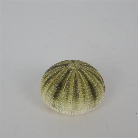 Sea Urchin Green Approx 6cm x 4cm high