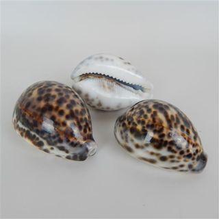 Shells Tiger 3pcs Approx 6cm